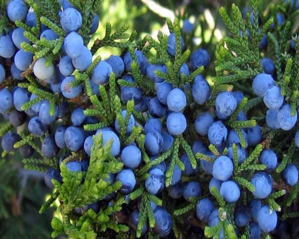 Image result for Juniper Berries