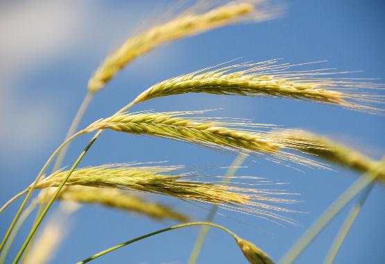 rye grass pollen extract